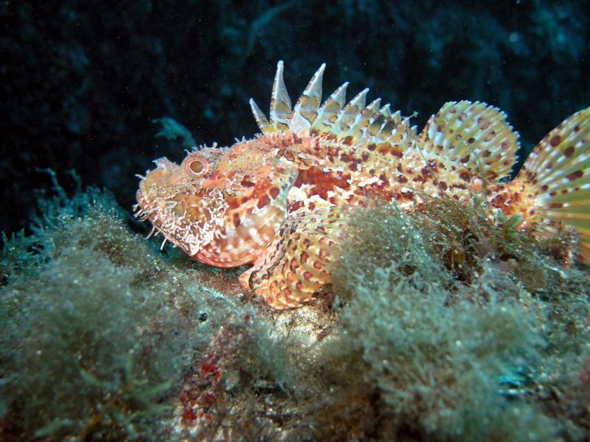 Comino / Gozo, Comino / Gozo,Malta,Skorpionsfische,Drachenkopf