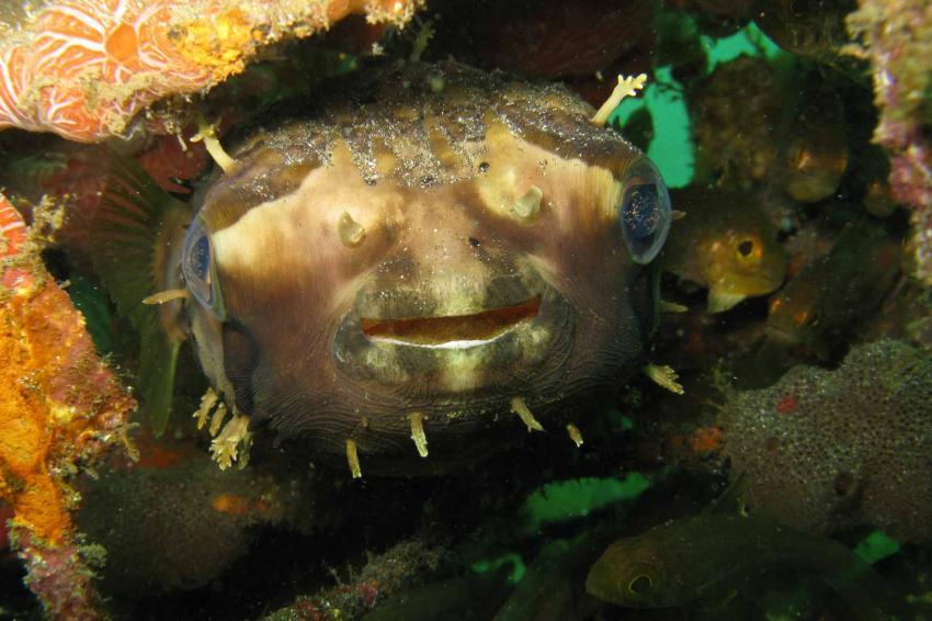 Igelfisch