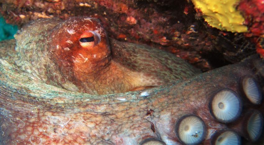 octopus, diving gran canaria, Zeus Dive Center, Playa del Ingles, Gran Canaria, Spanien, Kanaren (Kanarische Inseln)