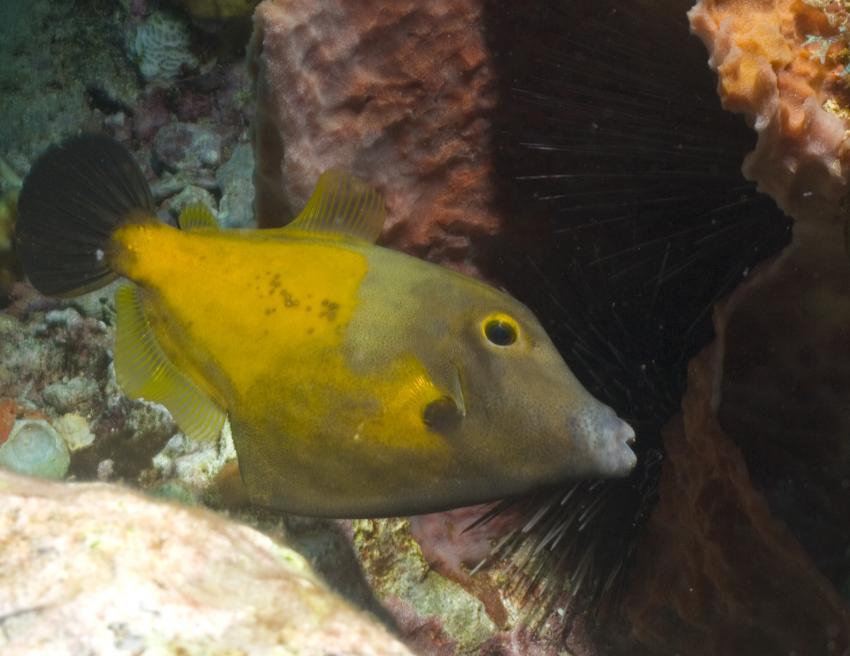 Soufriere, Soufriere,St. Lucia,Doktorfisch
