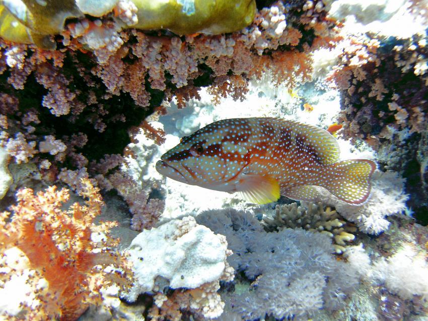 Yolanda Reef / Shark Reef & Anemone City (Sharm El Sheikh), Yolanda Reef / Shark Reef & Anemone City (Sharm El Sheikh),Ägypten
