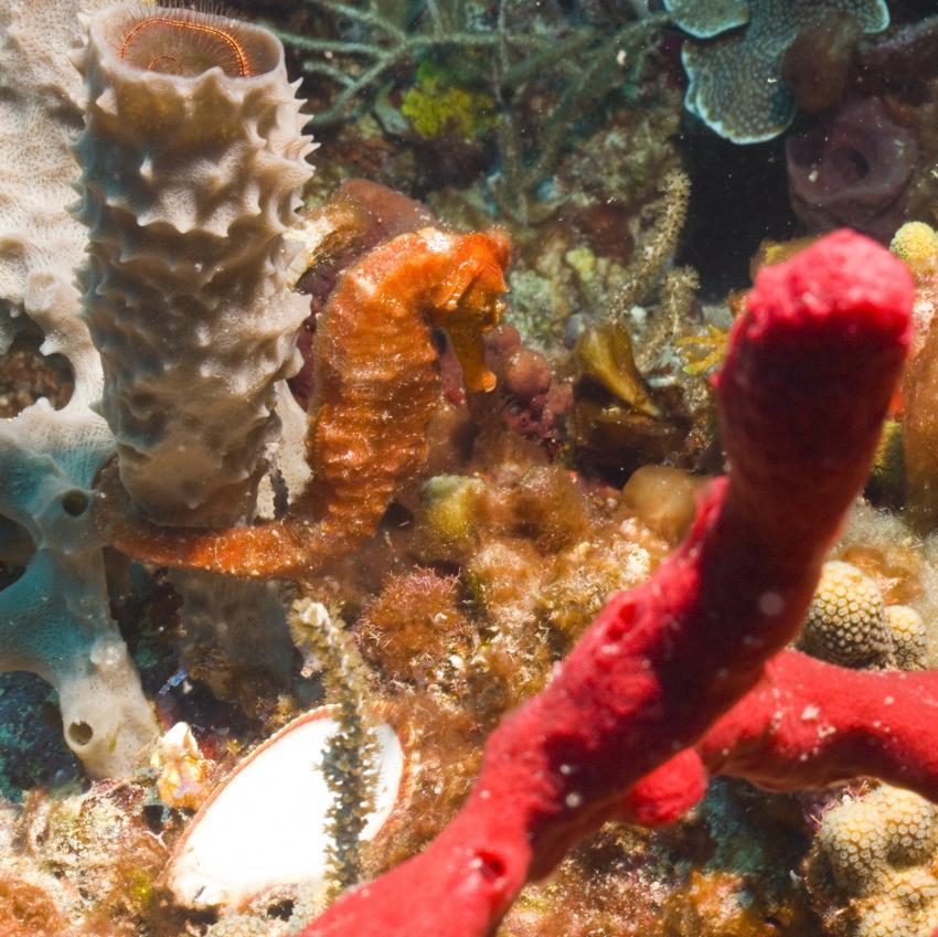 Bequia, Bequia,St. Vincent und die Grenadinen,Seepferdchen,orange