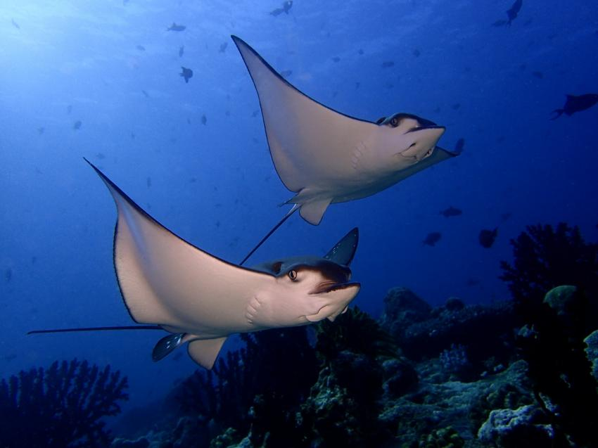 Manta, Mantas Ray, Rochen, Euro-Divers Meeru, Malediven
