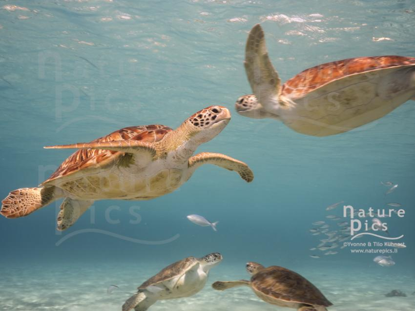 Suppenschildkröten - Playa Piskado, Poppy Hostel Curacao, Willemstad, Niederländische Antillen, Curaçao