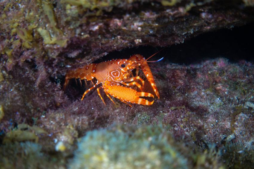 Atlantischer Riffhummer in Radazul, Teneriffa, Kanarische Insels, Radazul, Teneriffa, Kanarische Insels, Scubanana Dive Center, Teneriffa, Spanien, Kanaren (Kanarische Inseln)