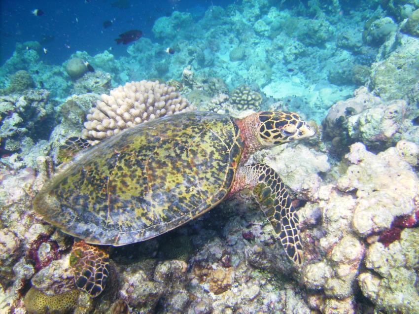 Helengeli, Helengeli,Malediven,schildkröte,riff