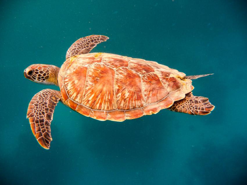 Hausschildkröte, Coraya Divers, Coraya Beach, Marsa Alam, Ägypten, Marsa Alam und südlich