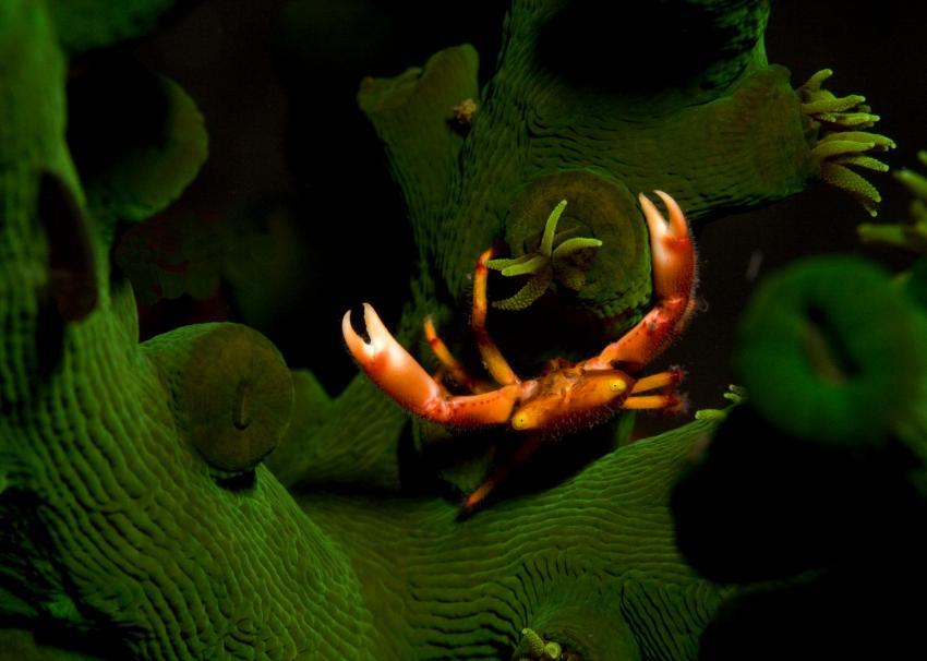 Krabbe in grüner Koralle