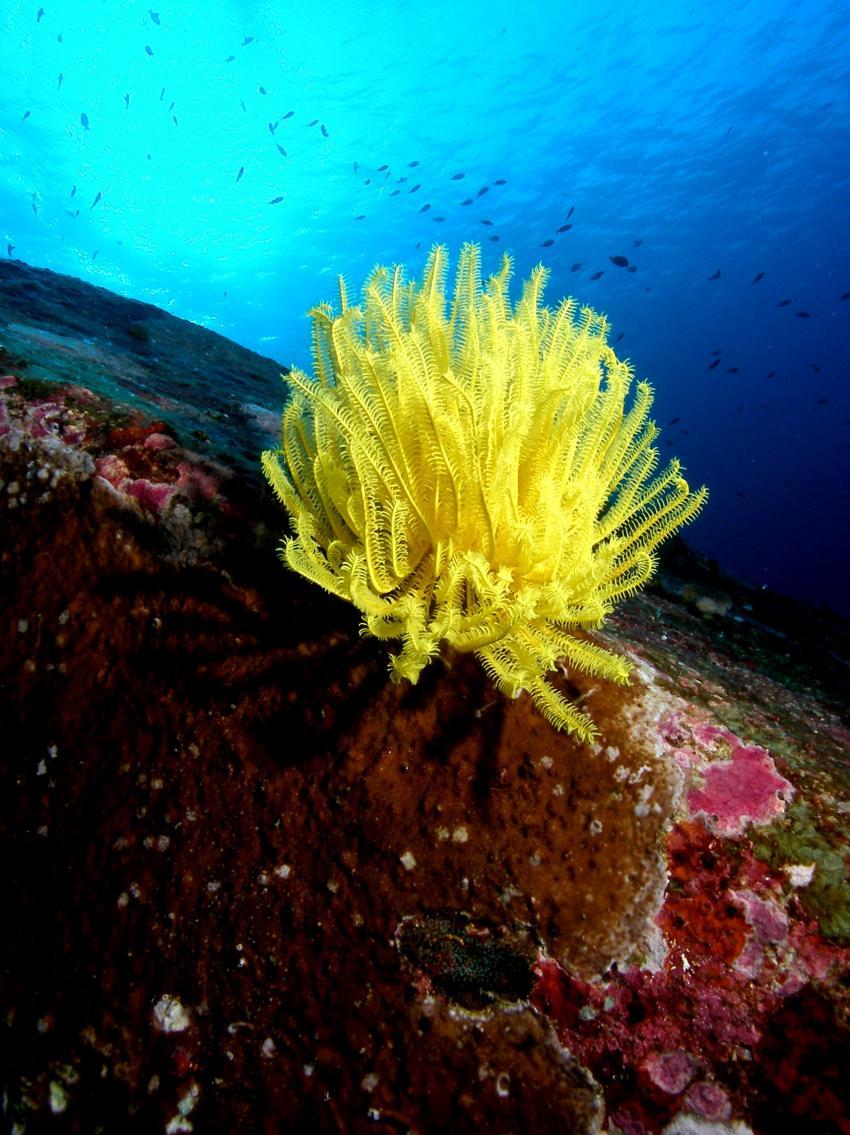 Richelieu Rock, Richelieu Rock,Thailand,Koralle,hart,weich