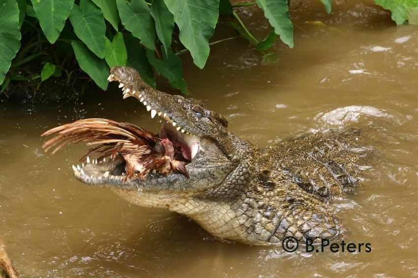 Blue Bay, Blue Bay,Mauritius,Krokodil,fressen,Vogel