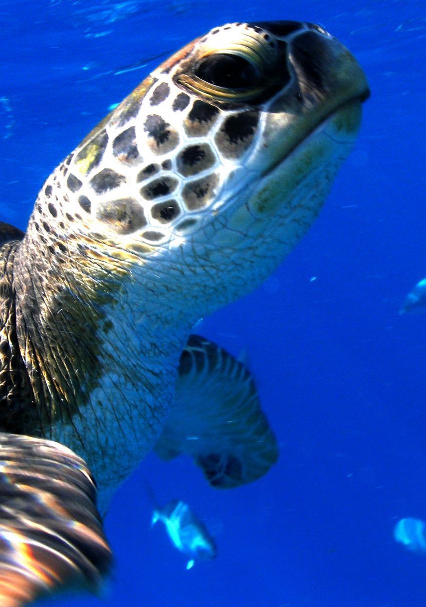 Richelieu Rock, Richelieu Rock,Thailand,Meeresschildkröte,Cheloniidae