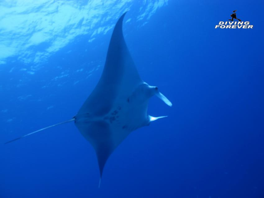 Manta, Manta, Eagle Ray, Tauchen in Hurghada, Diving Forever Hurghada, Ägypten, Hurghada, Rotes Meer