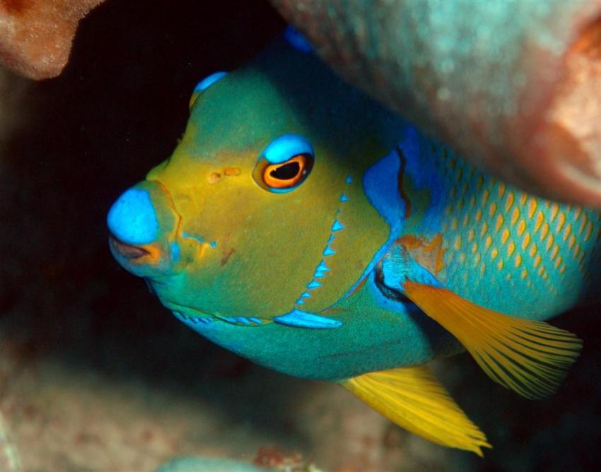 French Cay, French Cay,Turks- und Caicosinseln,Diadem,Kaiserfisch