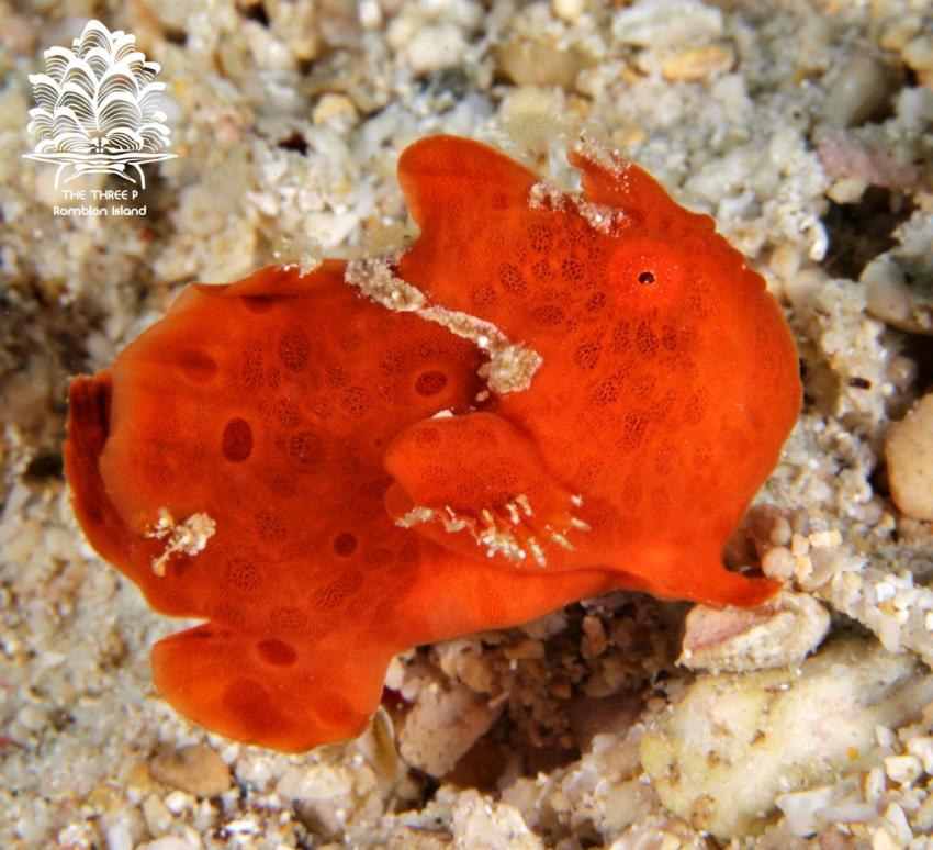 Antennarius pictus, The Three P, Romblon Island
