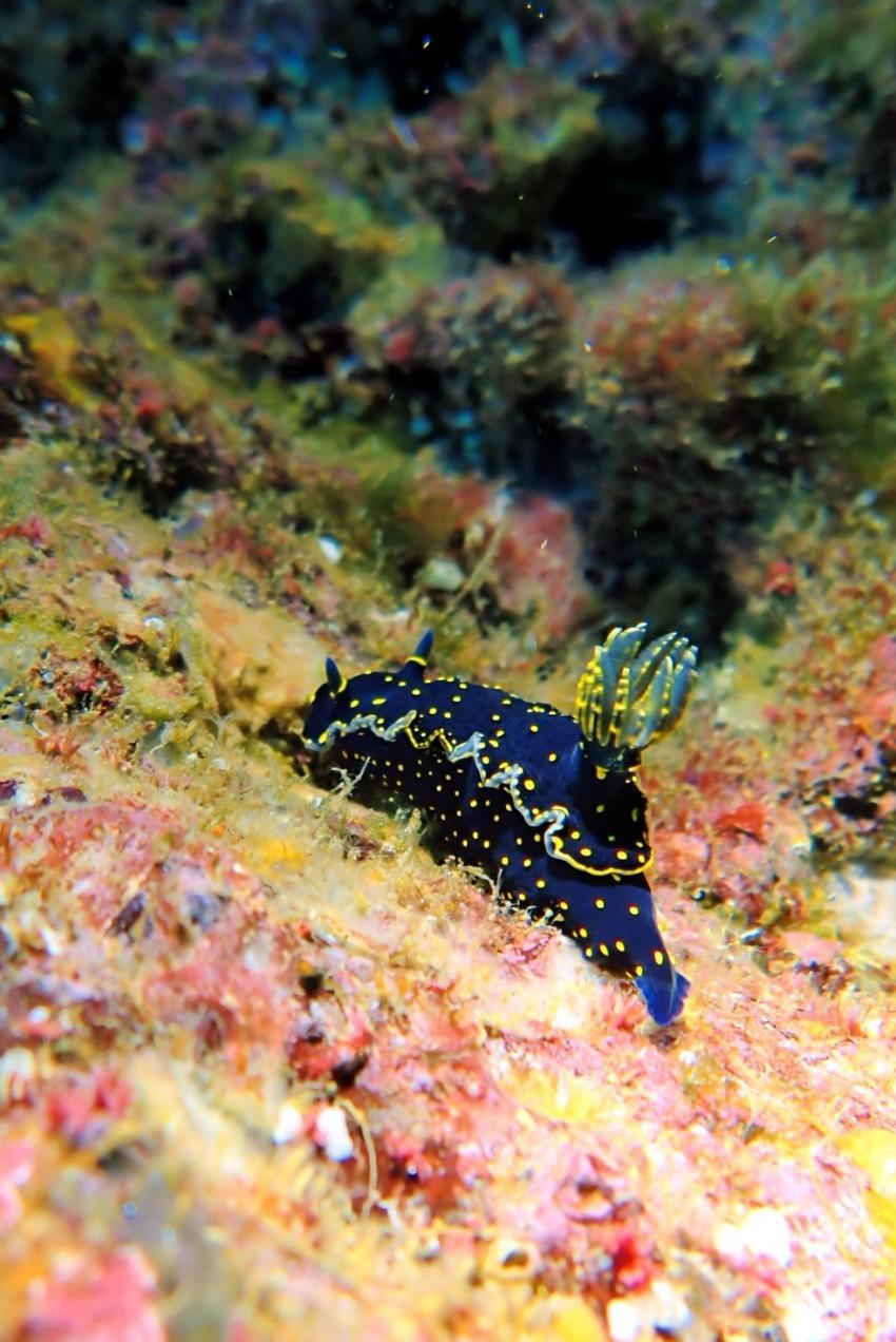 Sternnacktschnecke, Schnecken, Wahoo Diving, Santa Maria, Azoren, Portugal, Azoren
