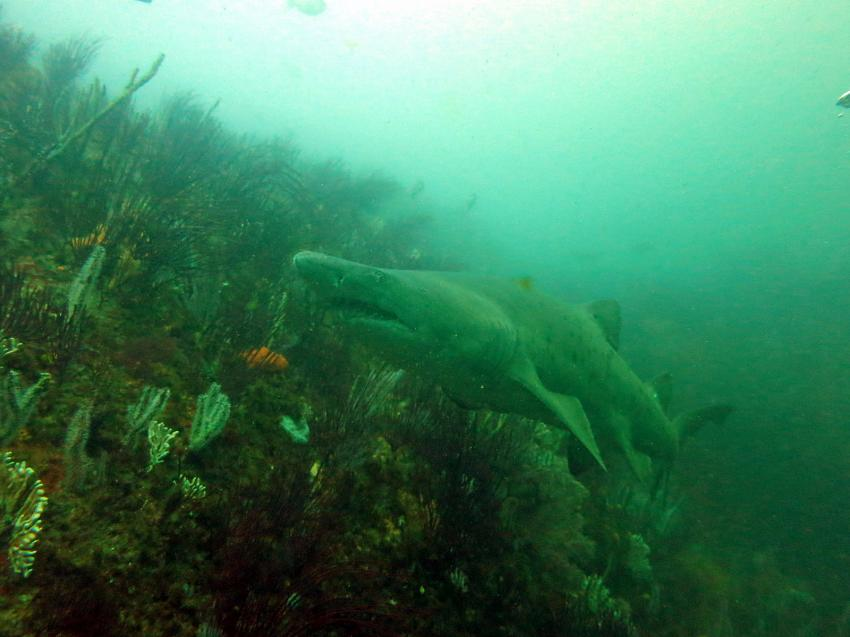 Sandtigerhai / Bellboy Reef, Dive Expert-Tours ,   Südafrika, Südafrika