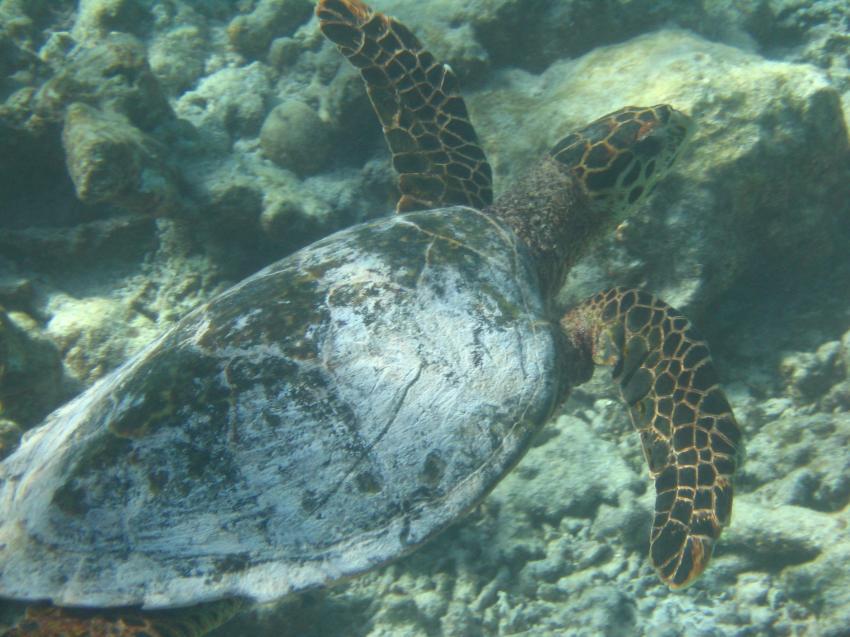 Royal Island (Baa Atoll), Royal Island,Malediven,Meeresschildkröte