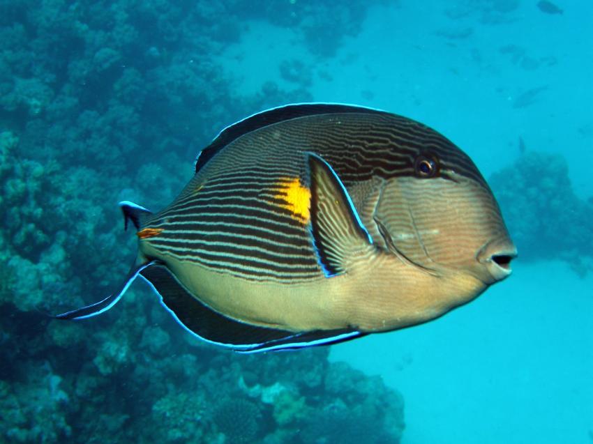 Hamata Zabargad, Zarbagad,Ägypten,Doktorfisch