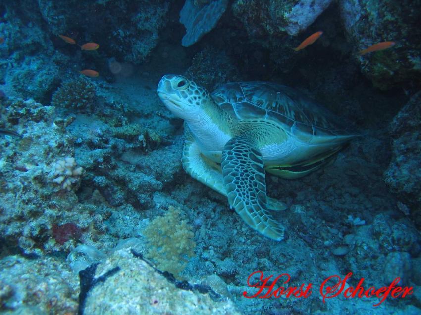 Safaga - Abu Hashish, Abu Hashish (Hurhada),Ägypten,Schildkröte