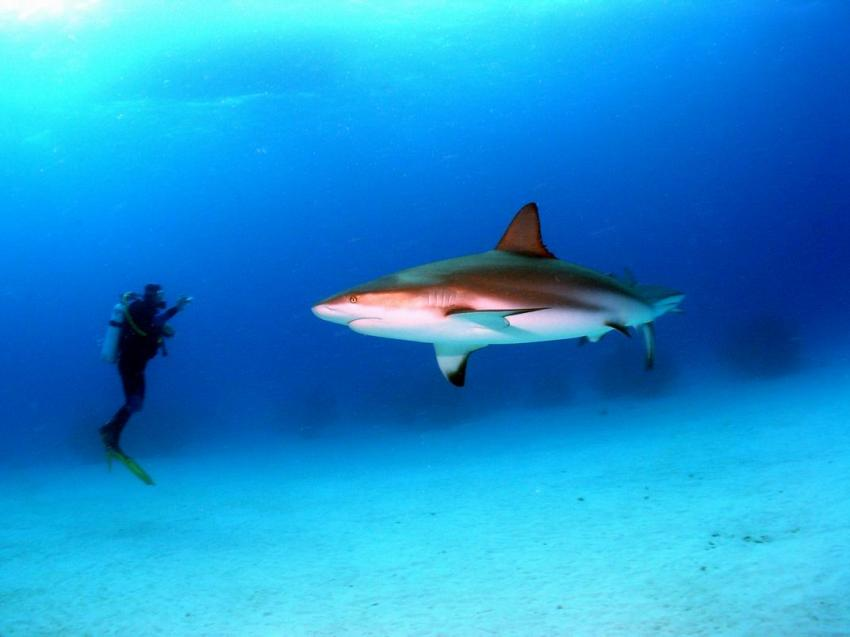 Grand Bahama, Grand Bahama,Bahamas,Bullenhai,fotografieren