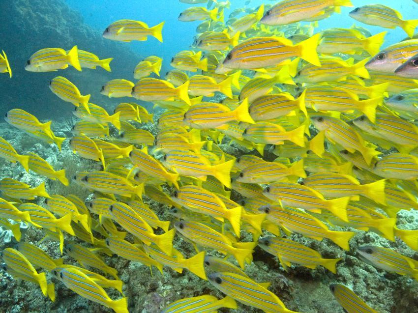 aus dem Süden des Ari Atolls, Süd Ari-Atoll,Malediven,Meerbarben,Süßlippen,gelb,Schwarm