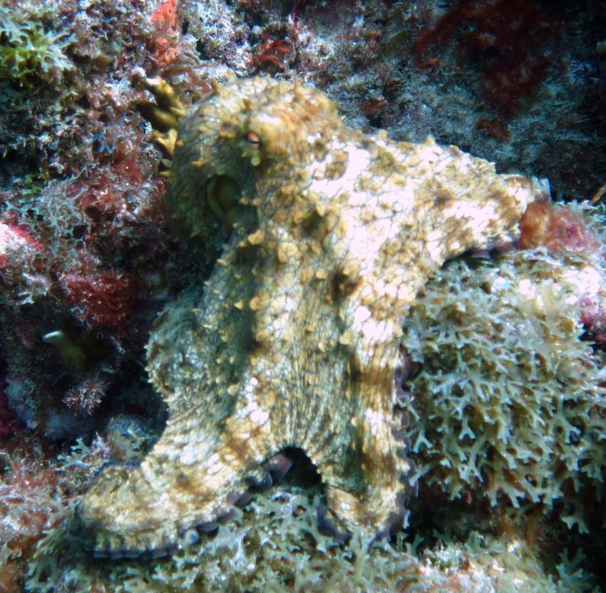 Octopus, Lumbadive PADI 5 STAR RESORT, Tyrrel Bay, Carriacou - Grenada W.I., Grenada