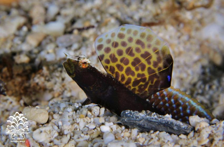 Tomiyamichthys emilyae (Magnificent Shrimpgoby), The Three P Romblon Island