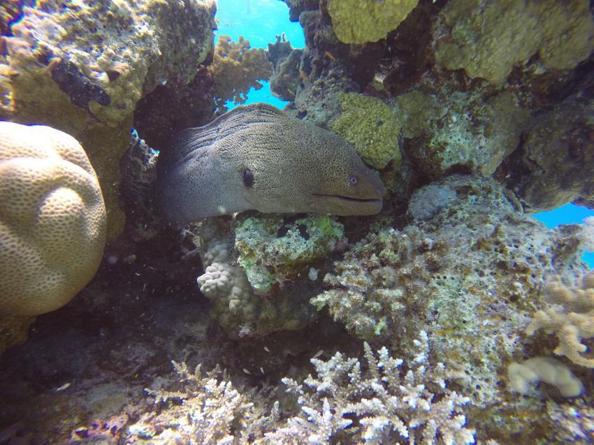Riesenmuräne, Wonderful Dive, Akassia LTI & Calimera, Ägypten, El Quseir bis Port Ghalib