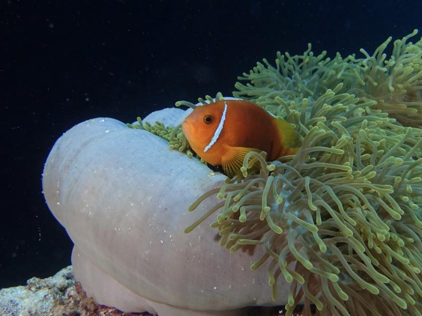 Nemo, Anemonenfisch, Anemone, DivePoint Rannalhi, Malediven