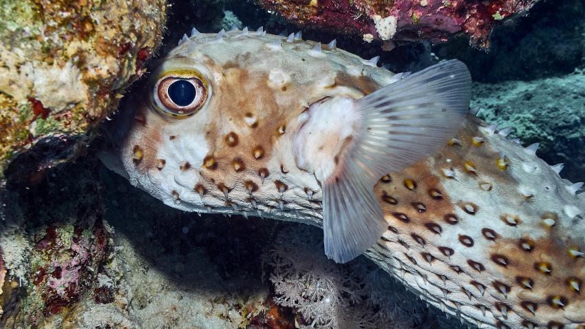 Der Gelbflecken-Igelfisch ist noch etwas schüchtern