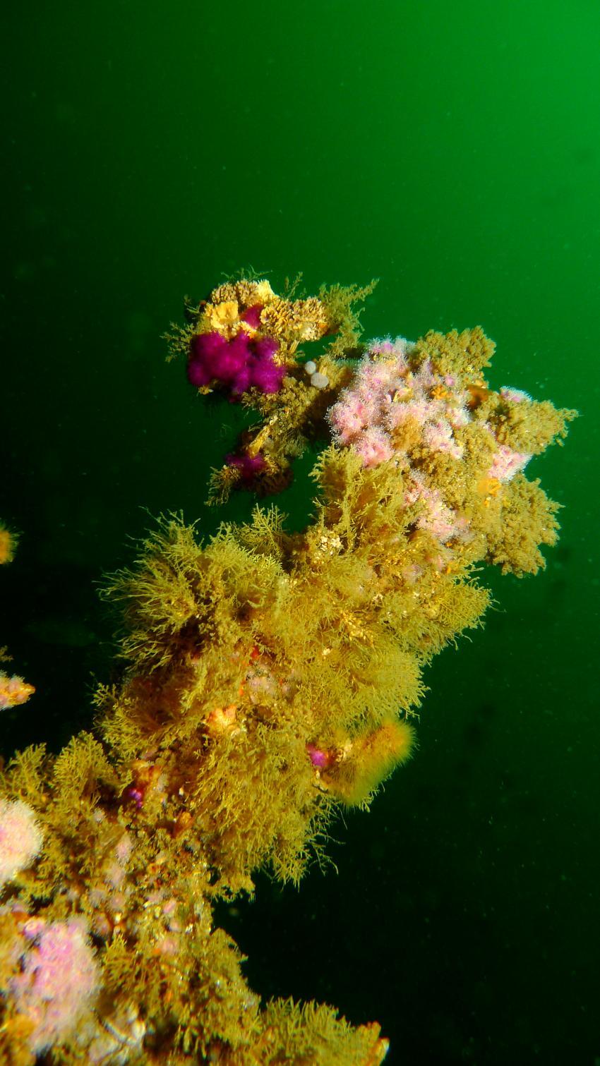 Schöne Korallen am Wrack
