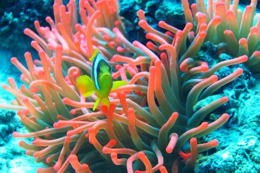 Nemo, Anemone, Anemonenfisch, Clownfisch, Undersea Adventures, Ägypten, Hurghada