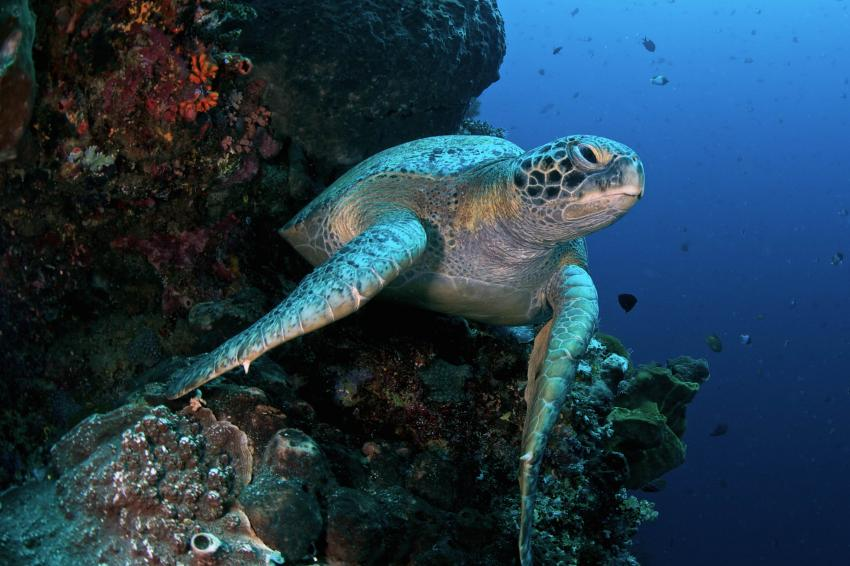 Green Sea Turtle at Bunaken Wall, Murex Manado, Bunaken, Indonesia, Sulawesi, diving, Murex Dive Resorts - Manado, Indonesien