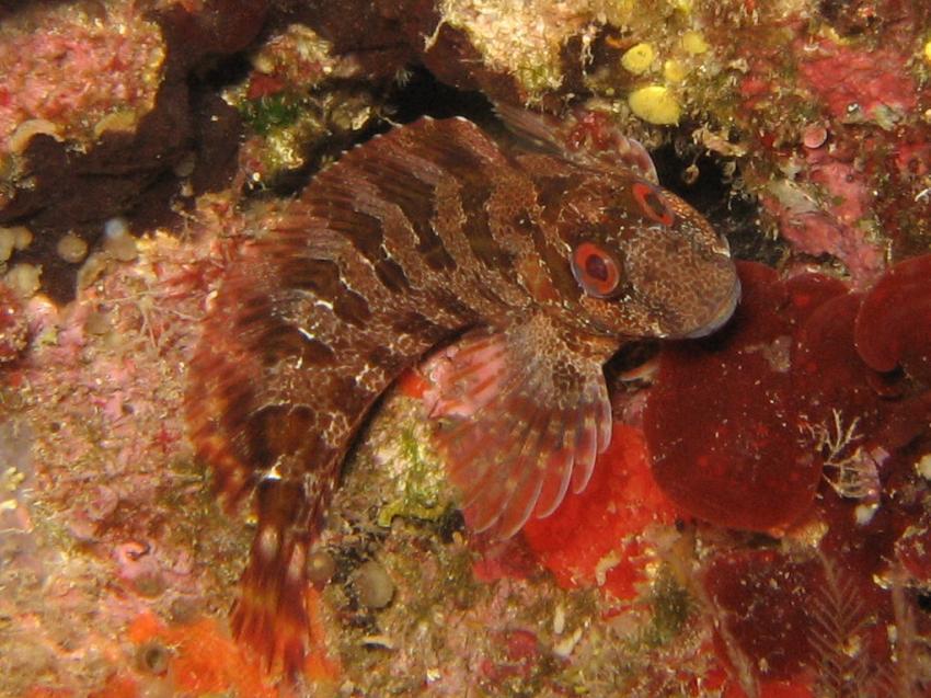 Mallorca - bei Port de Soller, Mallorca,Port de Soller,Spanien,schleimfisch,braun
