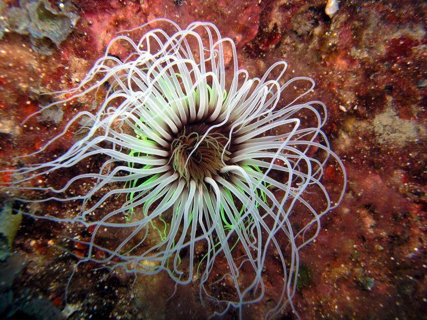 Diving Center Adrasan, Türkische Riviera,Türkei,Zylinderanemone