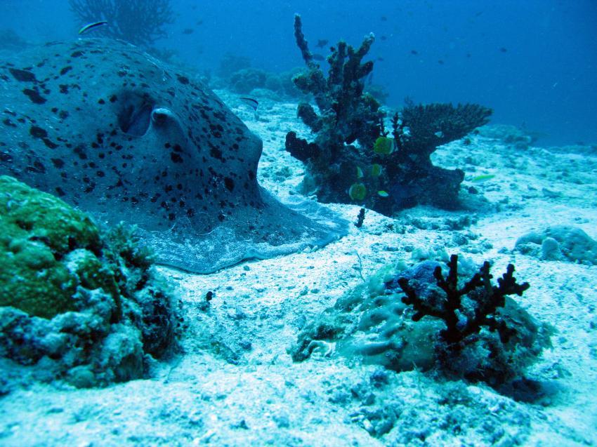 Kuramathi - Rasdhoo Atoll, Kurumathi - Rasdhoo Atoll (Ross Atoll),Malediven,schwarzpunktrochen