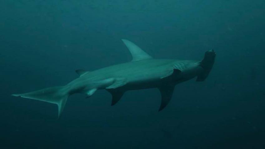 Hammer - der Hammer Hai, Dive Rasdhoo, Malediven