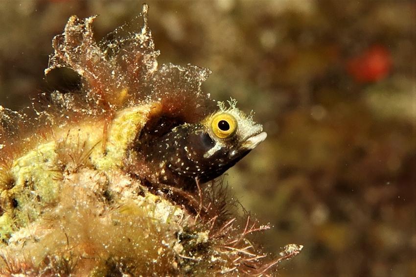 Neugieriger Blenny, Blenny, Villa Mango Curacao Dive Center, Willemstad, Niederländische Antillen, Curaçao
