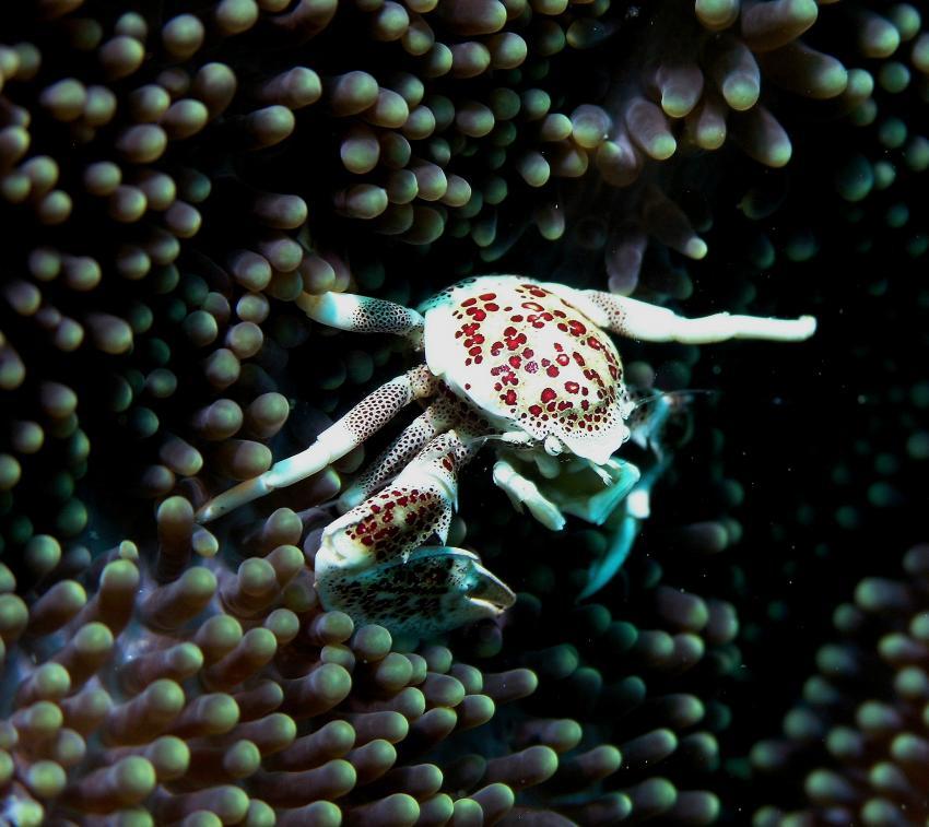 Bohol, Bohol,Philippinen,Krabbe,Porzellankrabbe,Anemone