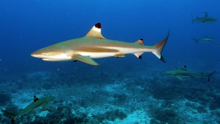Moorea, Moorea und Fakarava,Französisch-Polynesien,Schwarzspitzenhai