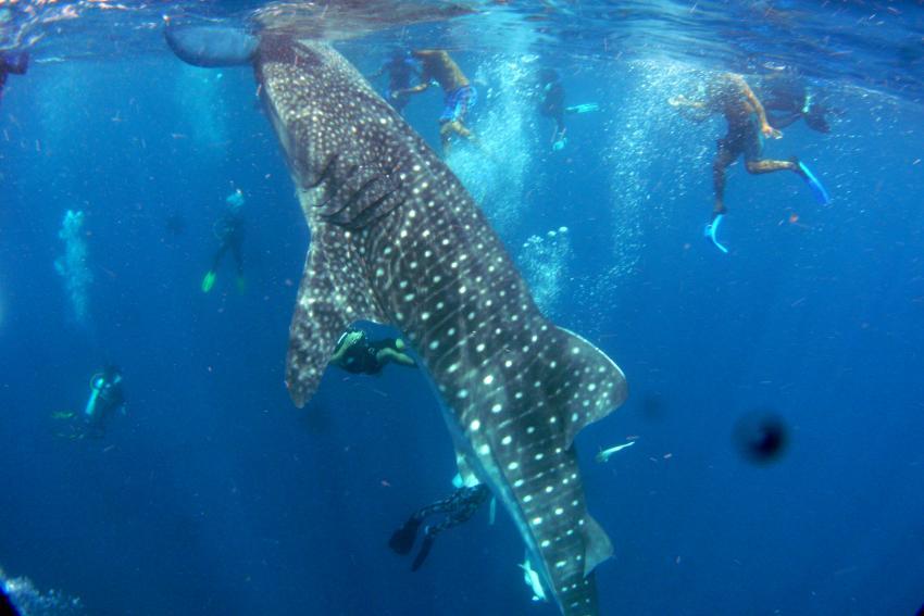 Wahlhaie in Pescador vom 2.6.2012. Eine Woche, Pescador Island Moalboal Cebu,Philippinen,Walhai,Schnorchler,Wasseroberfläche