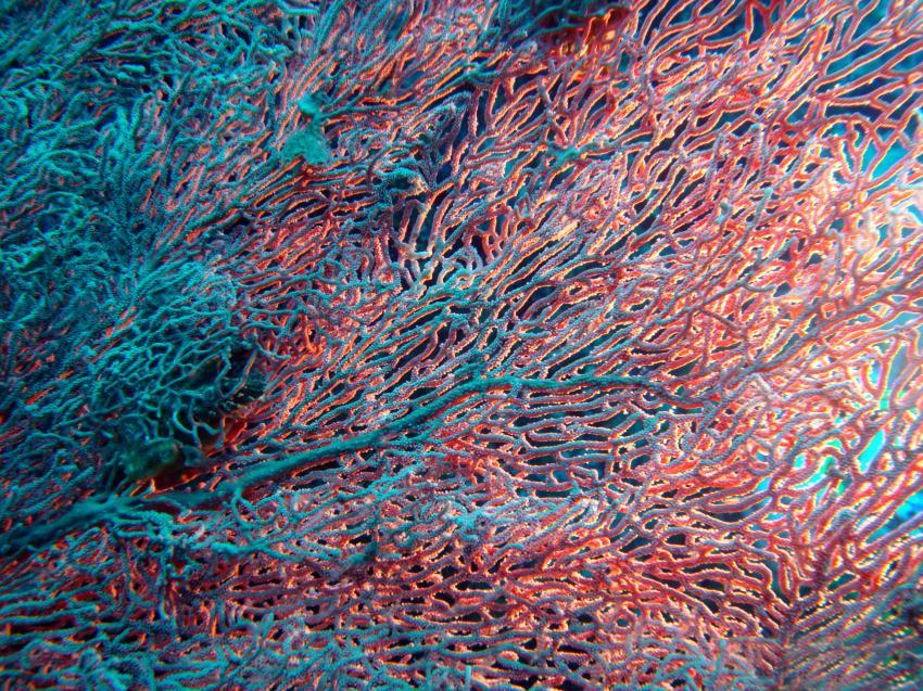 Seefächer - Richelieu Rock, Seefächer, Fächerkoralle, Richelieu Rock, Sea Turtle Divers - Khao Lak, Thailand, Andamanensee