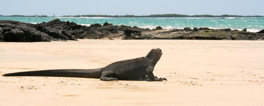 Galapagos, Galapagos,Ecuador,Strand,Insel,Echse,Küste