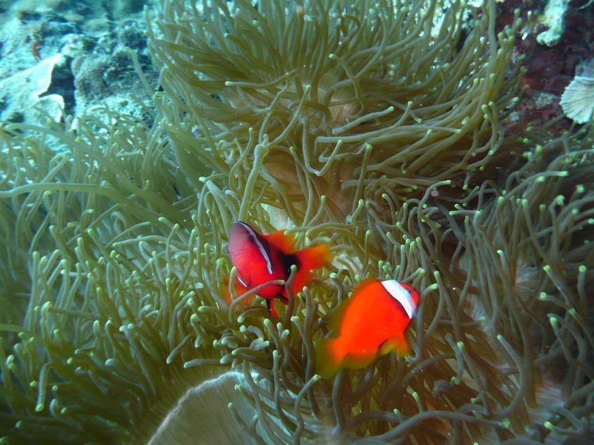 Coco White Beach, Coco White Beach,Philippinen,Nemo,Anemone