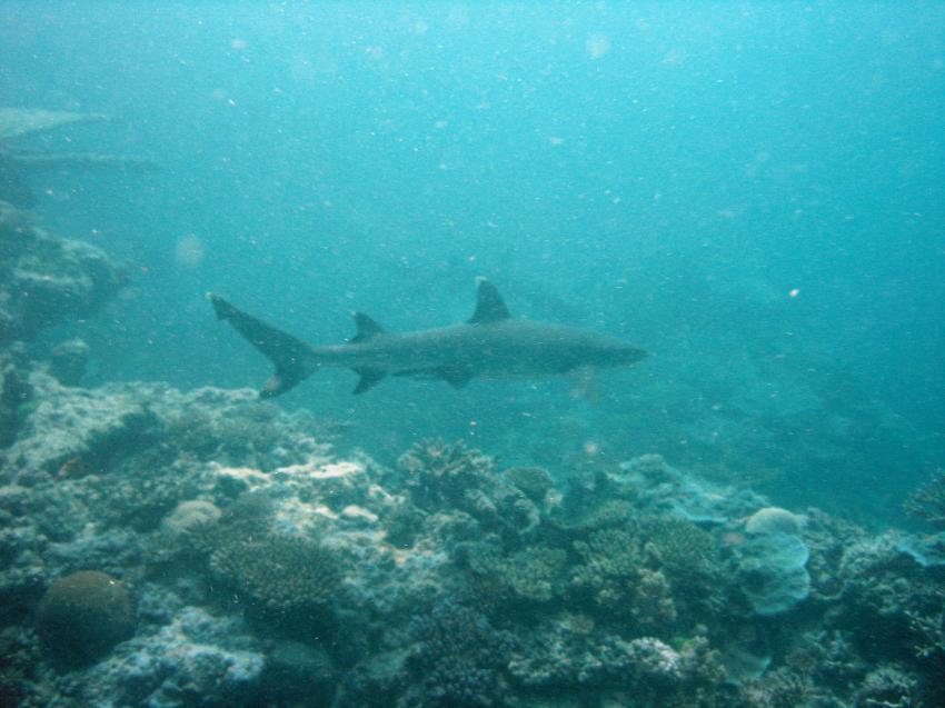 Heron Island / GBR, Heron Island,Australien,Riffhai