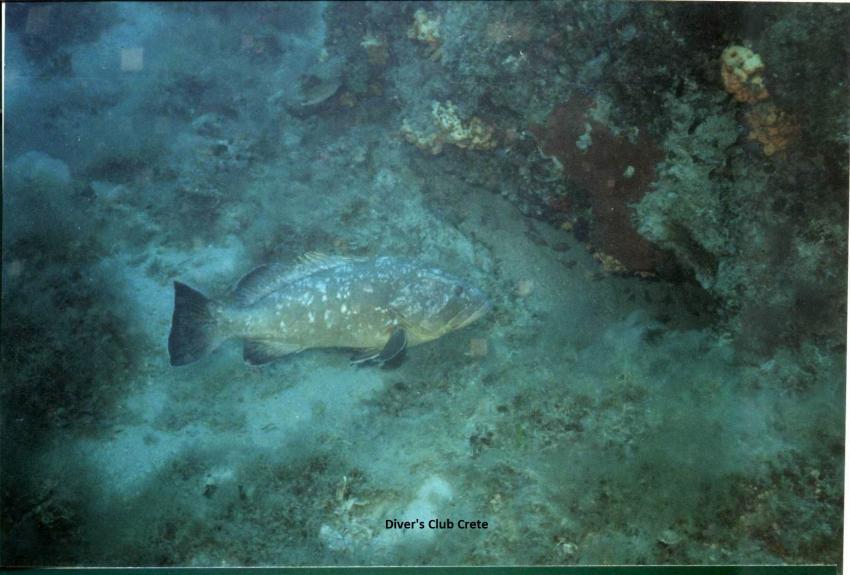 Grouper , Reef Diving, Divers Club Crete, Agia Pelagia, Kreta, Griechenland