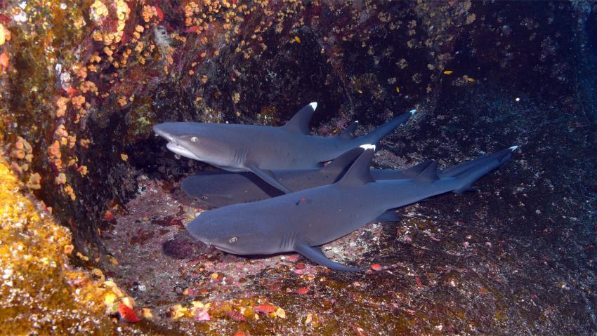 soccoro, Socorro Islands,Mexiko,hai,weissspitzenhai