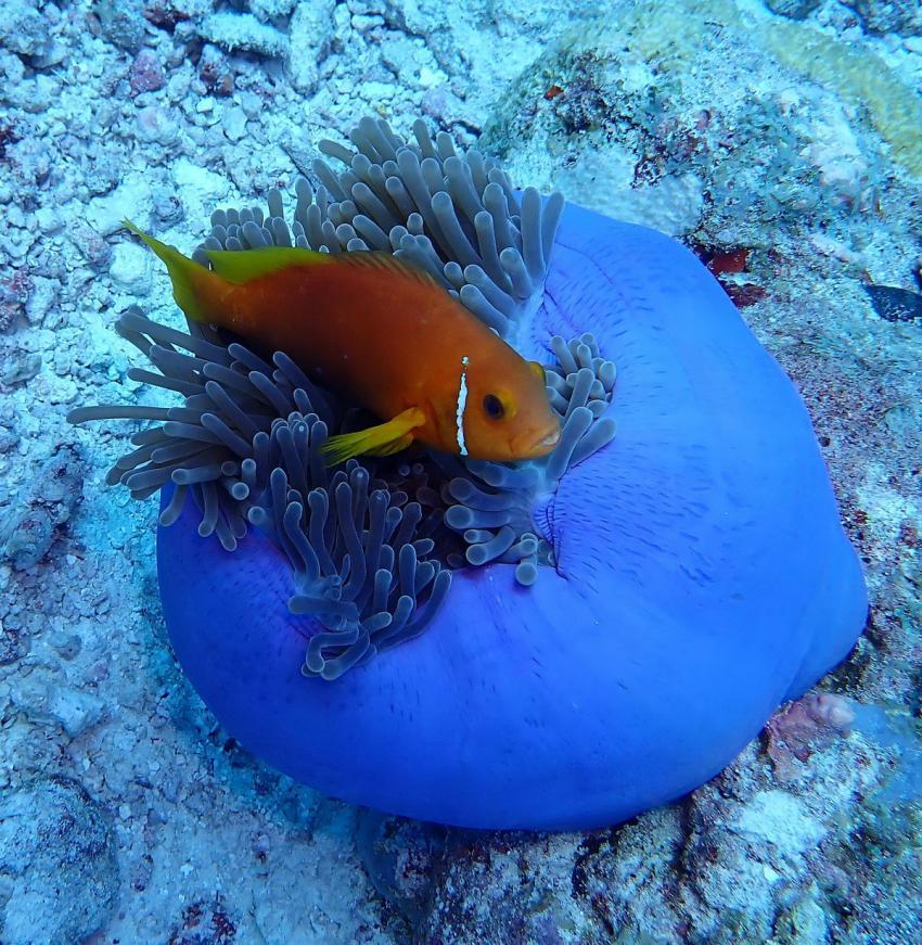Anemone, Clownfisch, Nemo, Bathala, Diving Center Werner Lau, Nord Ari Atoll, Malediven, Malediven