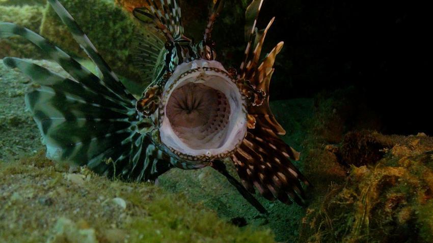 Rotfeuerfisch beim gähnen