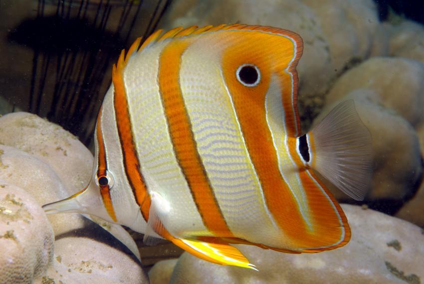 Secret Bay, Secret Bay,Bali,Indonesien,Kupferstreifen-Pinzettfisch